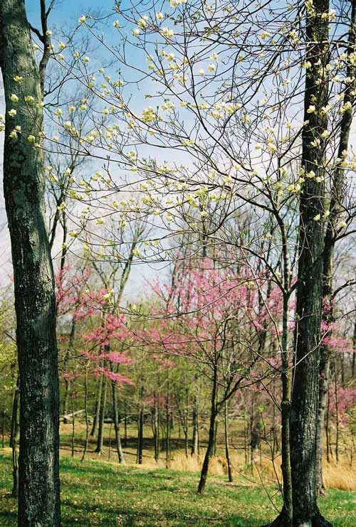 blooming trees at Wooded Glen