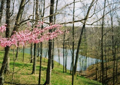 blooming red bud trees on banks of lake