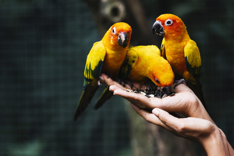 woman's hands holding three pet birds - pets